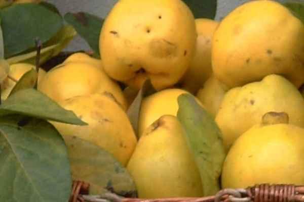 frutto mele cotogne Mele cotogne, caratteristiche di un frutto dimenticato